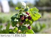 Купить «Зреющие ягоды черной смородины на ветке», фото № 1856529, снято 20 июля 2010 г. (c) Катерина Макарова / Фотобанк Лори
