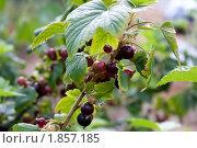 Купить «Ветка черной смородины с ягодами», фото № 1857185, снято 21 июля 2010 г. (c) Катерина Макарова / Фотобанк Лори