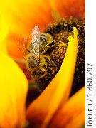 Увлеченная пчела. Стоковое фото, фотограф Петр Крупенников / Фотобанк Лори