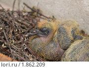 Купить «Птенец голубя», эксклюзивное фото № 1862209, снято 24 июля 2010 г. (c) Алёшина Оксана / Фотобанк Лори