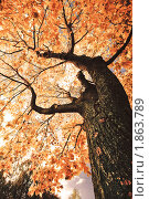 Осеннее кленовое дерево. Вид снизу. Стоковое фото, фотограф Евгений Захаров / Фотобанк Лори