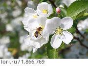 Купить «Пчела на яблоневом цвете», эксклюзивное фото № 1866769, снято 16 мая 2010 г. (c) Анатолий Матвейчук / Фотобанк Лори