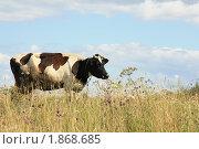 Корова на лугу. Стоковое фото, фотограф Алина / Фотобанк Лори