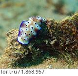 Голожаберный моллюск. Стоковое фото, фотограф Нина Гурвич / Фотобанк Лори