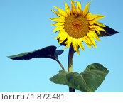 Подсолнух. Стоковое фото, фотограф Павел Крутихин / Фотобанк Лори