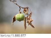 Купить «Сухая яблоневая ветка», фото № 1880977, снято 19 ноября 2018 г. (c) Виктор Савушкин / Фотобанк Лори