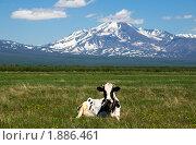 Купить «Корова на лугу у подножия вулкана. Камчатка», фото № 1886461, снято 16 июня 2010 г. (c) Ирина Игумнова / Фотобанк Лори
