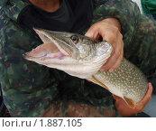 Купить «Щука с открытой пастью в руках рыбака», эксклюзивное фото № 1887105, снято 22 октября 2018 г. (c) Staryh Luiba / Фотобанк Лори