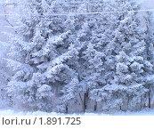 Снежные ели. Стоковое фото, фотограф Станислав Горбачев / Фотобанк Лори