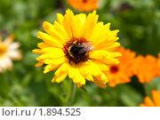 Купить «Шмель на цветке календулы», фото № 1894525, снято 6 августа 2010 г. (c) Катерина Макарова / Фотобанк Лори
