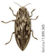 Купить «Крупный жук, изолировано на белом фоне», фото № 1895365, снято 4 июня 2010 г. (c) pzAxe / Фотобанк Лори