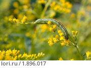 Купить «Гусеница на цветах Эстрагона», фото № 1896017, снято 6 августа 2010 г. (c) Катерина Макарова / Фотобанк Лори