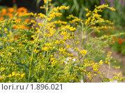 Купить «Цветение Эстрагона», фото № 1896021, снято 6 августа 2010 г. (c) Катерина Макарова / Фотобанк Лори
