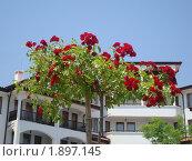 Кустовые розы у коттеджей в Болгарии. Стоковое фото, фотограф Вишнякова Татьяна / Фотобанк Лори