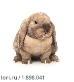 Купить «Карликовый вислоухий кролик породы Баран (показывает язык)», фото № 1898041, снято 4 августа 2010 г. (c) Юлия Машкова / Фотобанк Лори