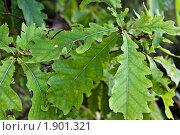 Листья дуба. Стоковое фото, фотограф Попонина Ольга / Фотобанк Лори