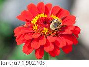 Купить «Шмель на цветке циннии», эксклюзивное фото № 1902105, снято 27 июля 2010 г. (c) Шичкина Антонина / Фотобанк Лори