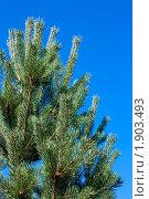 Купить «Сосновые ветви на голубом фоне», фото № 1903493, снято 13 августа 2010 г. (c) Катерина Макарова / Фотобанк Лори