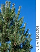 Купить «Сосна на голубом фоне», фото № 1903509, снято 13 августа 2010 г. (c) Катерина Макарова / Фотобанк Лори