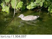 Купить «Птенец чайки», фото № 1904097, снято 22 июля 2010 г. (c) Наталья Волкова / Фотобанк Лори