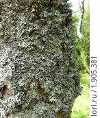 Мох на карельской березе, признак экологичности района. Стоковое фото, фотограф Инна Федотова / Фотобанк Лори