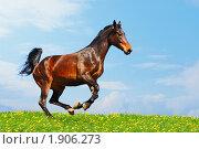 Купить «Гнедая лошадь скачет галопом в поле», фото № 1906273, снято 23 апреля 2010 г. (c) Титаренко Елена / Фотобанк Лори