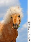 Купить «Портрет шетлендского пони соловой масти», фото № 1906289, снято 12 мая 2010 г. (c) Титаренко Елена / Фотобанк Лори