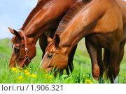 Купить «Две рыжие лошади в поле», фото № 1906321, снято 12 мая 2010 г. (c) Титаренко Елена / Фотобанк Лори