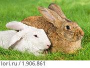 Купить «Кролики», фото № 1906861, снято 7 августа 2010 г. (c) Дмитрий Калиновский / Фотобанк Лори