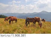 Купить «Лошади на горном склоне на фоне гор», фото № 1908381, снято 13 августа 2010 г. (c) Швадчак Василий / Фотобанк Лори