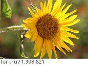 Подсолнух. Стоковое фото, фотограф Евгения Воронина / Фотобанк Лори