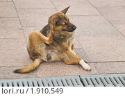 Бездомный пес чешется. Стоковое фото, фотограф Алёшина Оксана / Фотобанк Лори