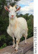 Портрет козы. Стоковое фото, фотограф Гер Олег / Фотобанк Лори