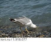 Чайка пьет воду из Черного моря. Стоковое фото, фотограф Парамонов Максим / Фотобанк Лори