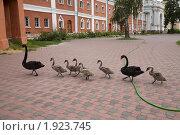 Купить «Выводок лебедей на улице города», фото № 1923745, снято 22 августа 2010 г. (c) Наталья Волкова / Фотобанк Лори