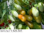 Купить «Помидоры мелкие на кусте - сорт Дамские пальчики», фото № 1925501, снято 31 июля 2010 г. (c) Jumbo / Фотобанк Лори
