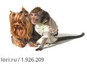 Купить «Неразлучные друзья  (обезьяна и йоркширский терьер) смотрят в даль», фото № 1926209, снято 4 июля 2010 г. (c) Ирина Кожемякина / Фотобанк Лори