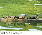 Черепахи, сидящие в ряд на камне. Стоковое фото, фотограф Сергей Тарасов / Фотобанк Лори