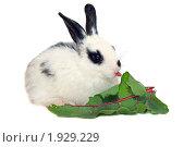 Купить «Черно-белый крольчонок ест свекольный лист и показывает язык», фото № 1929229, снято 6 августа 2010 г. (c) Васильева Татьяна / Фотобанк Лори