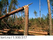 Купить «Бурелом. Последствие июльского урагана в Ленинградской области», фото № 1930517, снято 13 августа 2010 г. (c) Алла Матвейчик / Фотобанк Лори