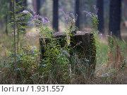 Купить «Иван-чай в лесу возле пня», фото № 1931557, снято 24 августа 2010 г. (c) Муратов Андрей Анатольевич / Фотобанк Лори