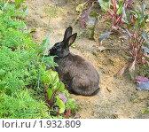 Черный кролик в огороде. Стоковое фото, фотограф Алёшина Оксана / Фотобанк Лори