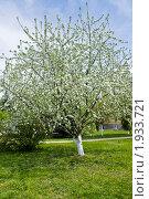 Купить «Цветущая яблоня», фото № 1933721, снято 6 мая 2010 г. (c) ИВА Афонская / Фотобанк Лори
