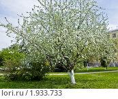 Купить «Цветущая яблоня», фото № 1933733, снято 6 мая 2010 г. (c) ИВА Афонская / Фотобанк Лори