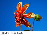 Купить «Красный цветок георгина на фоне голубого неба», фото № 1935237, снято 10 октября 2009 г. (c) Надежда Келембет / Фотобанк Лори