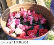 Розы в садовой бочке. Стоковое фото, фотограф Надежда Науменко / Фотобанк Лори