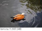 Купить «Утка. Московский зоопарк.», фото № 1937349, снято 25 августа 2010 г. (c) Евгения Плешакова / Фотобанк Лори