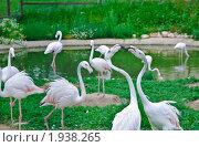 """Купить «Фламинго розовый в парке птиц """"Воробьи"""". (Phoenicopterus roseus)», эксклюзивное фото № 1938265, снято 10 июля 2010 г. (c) Алёшина Оксана / Фотобанк Лори"""