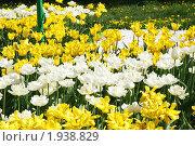 Купить «Желтые и белые тюльпаны на клумбе», эксклюзивное фото № 1938829, снято 14 мая 2010 г. (c) Наталия Шевченко / Фотобанк Лори