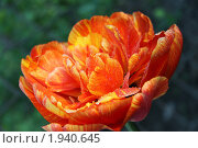 Купить «Декоративный тюльпан», фото № 1940645, снято 1 мая 2010 г. (c) Мариэлла Зинченко / Фотобанк Лори